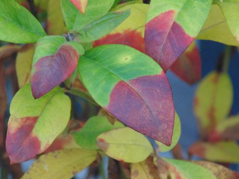 veronica icicle autumn colours explored
