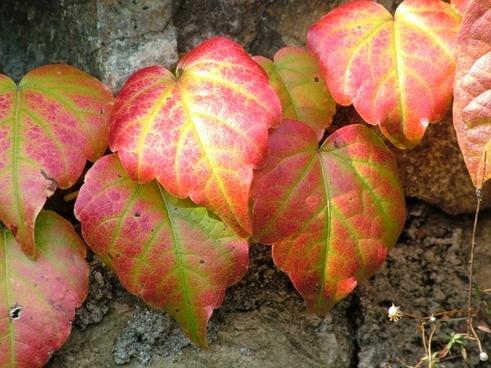 vine autumn plant