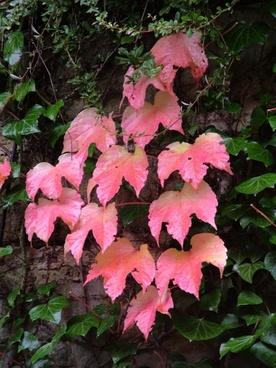 vine ivy red