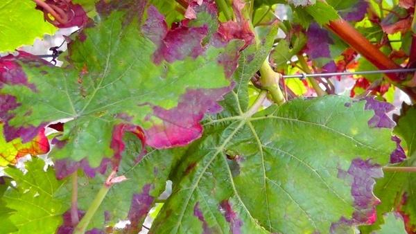 vine winegrowing vines