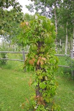 vines tree trunk