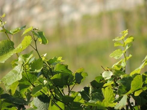 vines wine plant