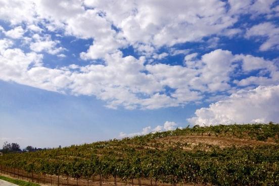 vineyard on hill under clouds