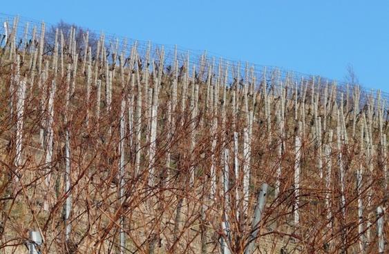 vineyard vine winegrowing