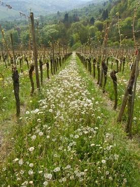 vineyard wine dandelion