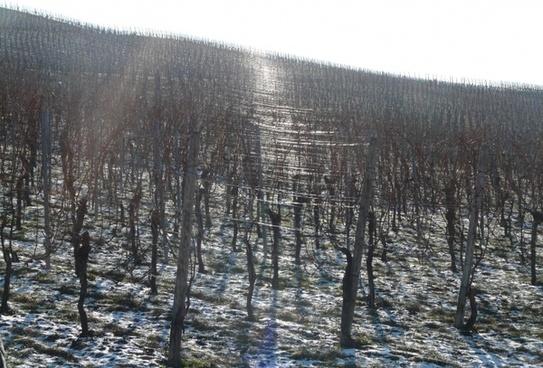 vineyard winter back light