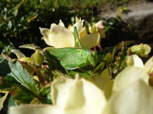 viridissima flowers grasshopper