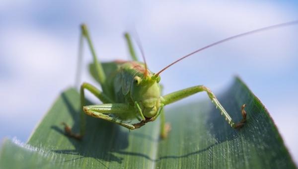 viridissima grasshopper macro