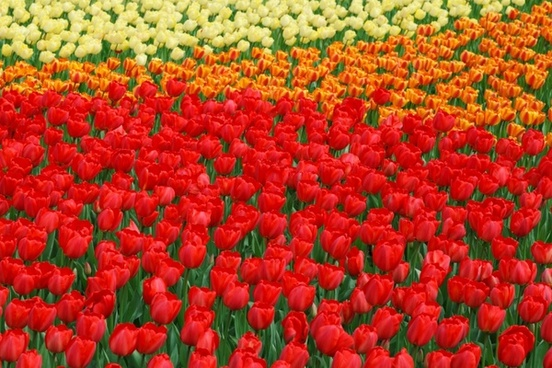 vivid color tulips