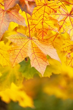 vivid yellow leaves