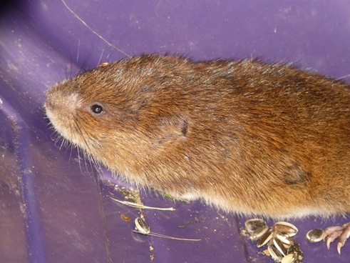 vole east water vole mouse