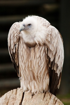 vulture sitting