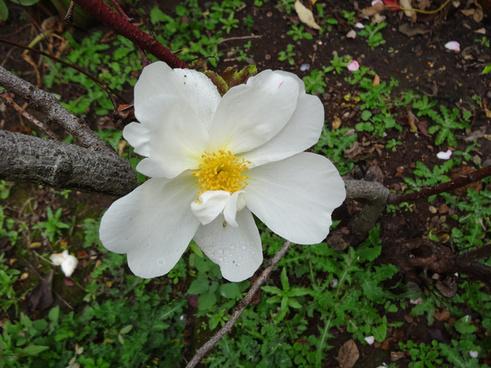 wakefield park garden near cavendish old style single white rose
