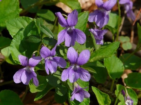 wald-violet violet purple