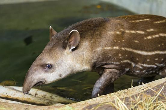 walking baby tapir