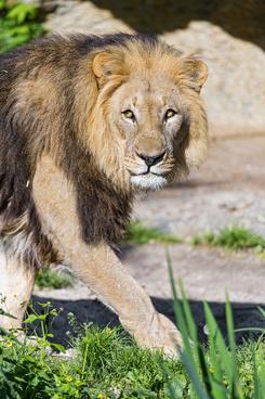 walking lion dad