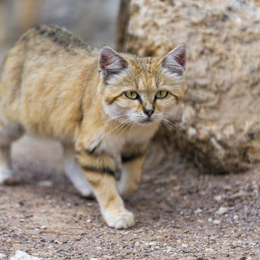 walking sand cat