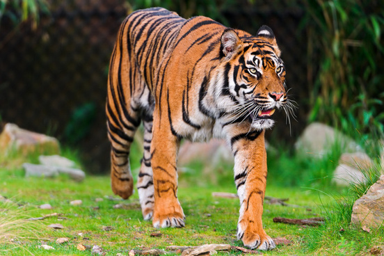 walking sumatran tiger