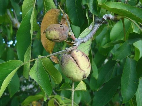 walnut nut tree