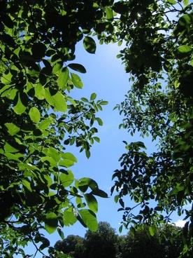 walnut tree canopy