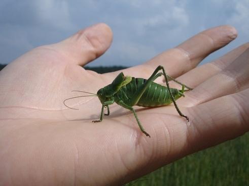 wart-biter decticus verrucivorus grasshopper