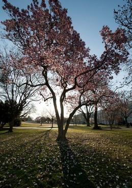 washington dc trees magnolias