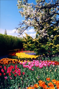 washington state tulips