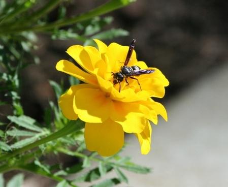 wasp bee hornet