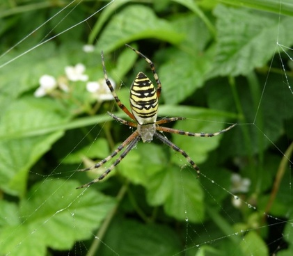 wasp spider leaves leaf