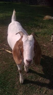 wassup goat
