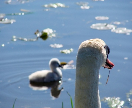 watchful eye of the father swan