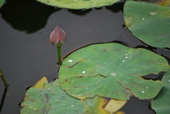 water drops on lily pad