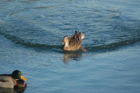 water duck cane mallard