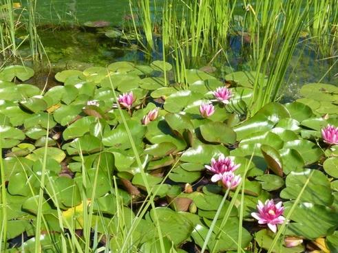 water lilies aquatic plant nature