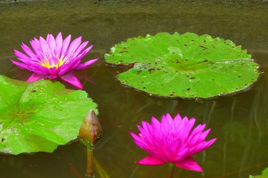 water lilies aquatic plant water
