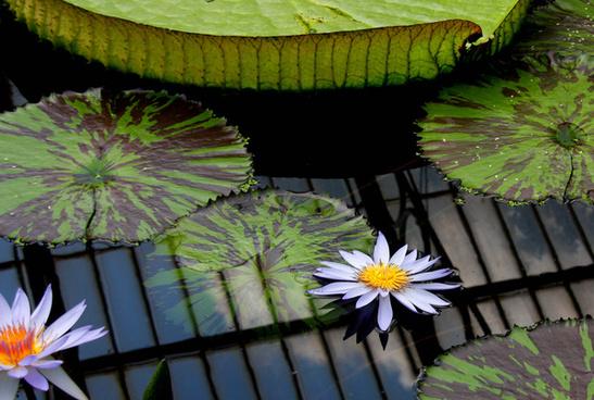 water lilies kew gardens