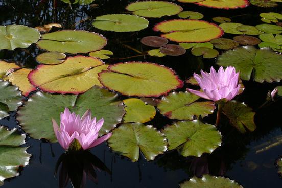 water lilies mission san juan capistrano
