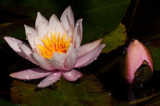 water lilies nymphaea bud