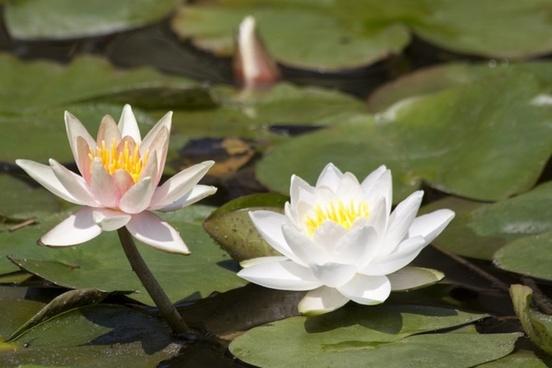 water lilies nymphaea lake rose