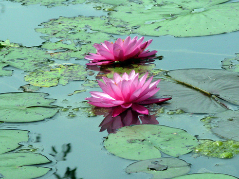 water lilies stonecrop gardens