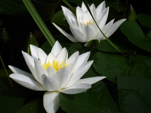 water lilies white blade