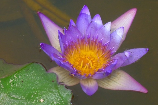 water lily aquatic plant violet