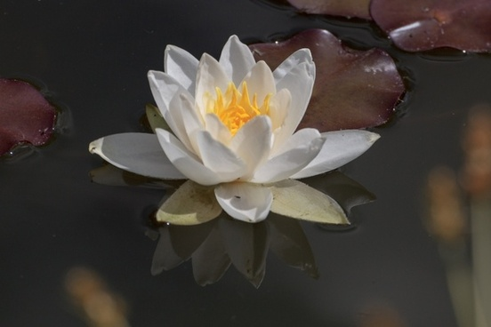 water lily aquatic plant water