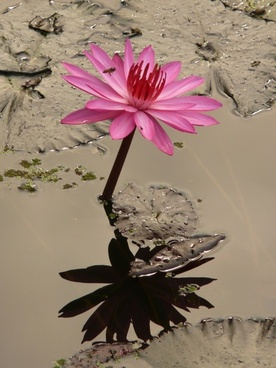 water lily flower pink