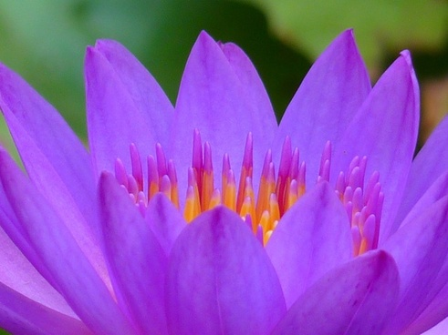water lily flower water