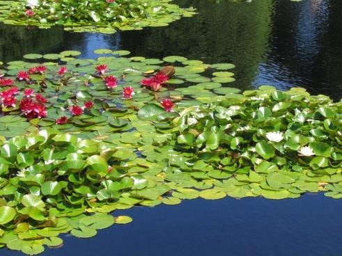 water lily lake aquatic plant