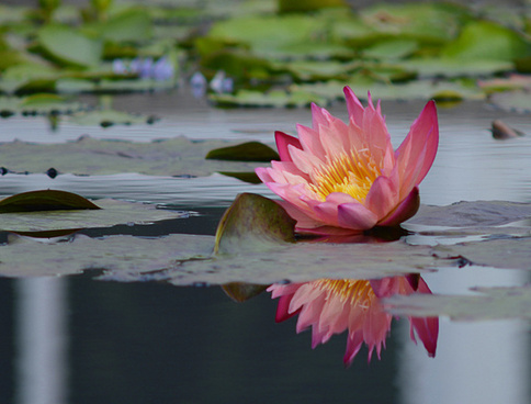 water lily nybg