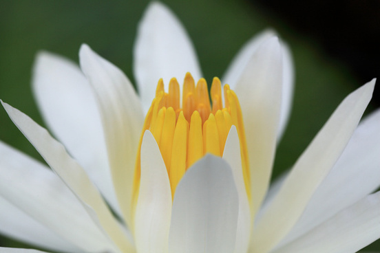 water lily nymphaea