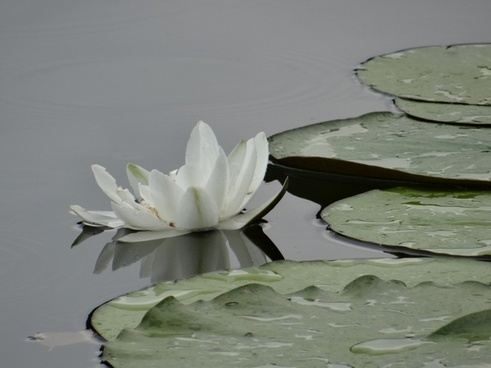 water lily pond pond plant