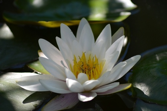 water lily white aquatic plant